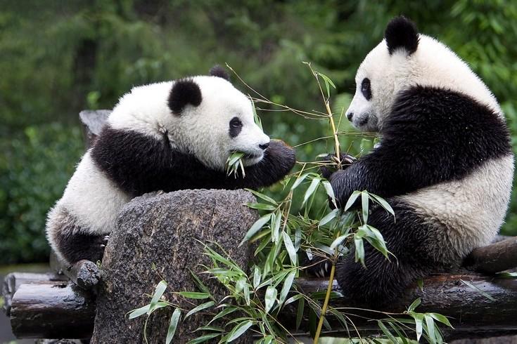 Pandakamera